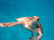 Picture 'Th1_0_2612 Green Turtle, Thailand'