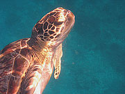 Picture 'Th1_0_2615 Green Turtle, Thailand'