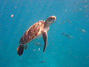 Picture 'Th1_0_2620 Green Turtle, Thailand'