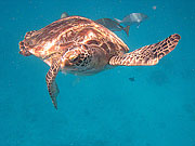 Picture 'Th1_0_2622 Green Turtle, Thailand'