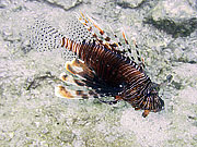 Picture 'Th1_0_2748 Lionfish, Thailand'