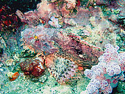 Picture 'Th1_0_2875 Scorpionfish, Thailand'