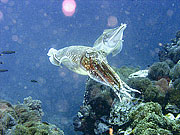 Picture 'Th1_0_2892 Cuttlefish, Thailand'