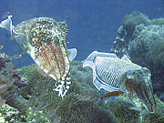Picture 'Th1_0_2894 Cuttlefish, Thailand'