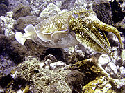 Picture 'Th1_0_2895 Cuttlefish, Thailand'