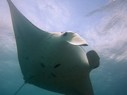 Manta Ray Video